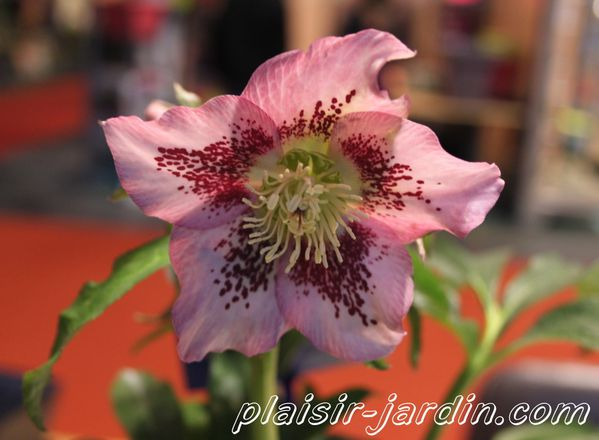 Helleborus-SP--Mary-Lou-.jpg