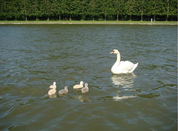 Versailles grand canal cygnes