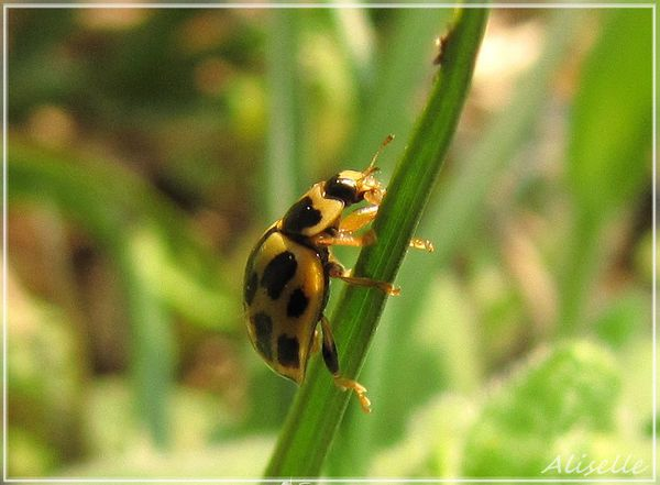 Coccinelle-14-points-1.jpg