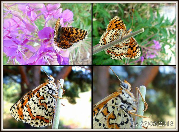 Papillons---Melitee-du-Plantain.jpg