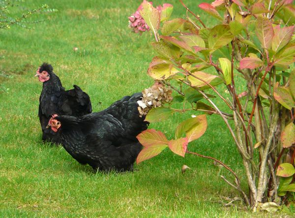 poules-noires.jpg