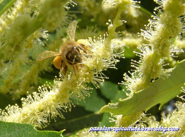 Châtaignier en fleurs (5)