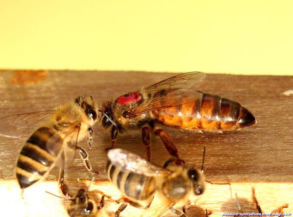Reine des abeilles (5)