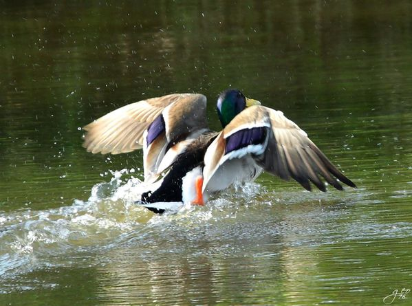 02-04-2011---CANARD-DECOLLAGE.JPG