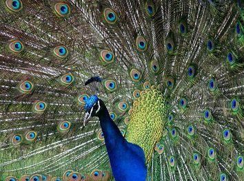 le-paon-bleu-fait-la-roue