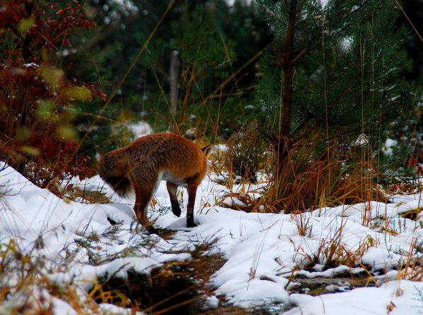 Renard 05 - hiver 2013