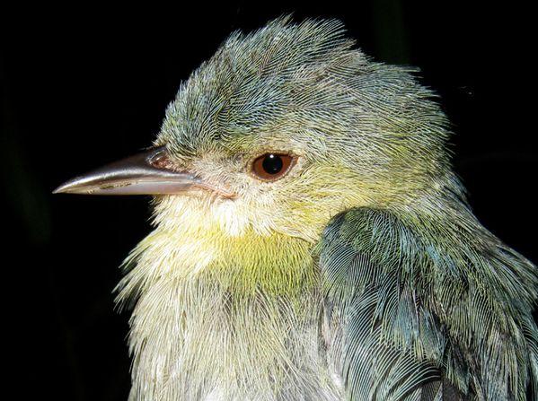 Conirostre bicolor Conirostrum bicolor