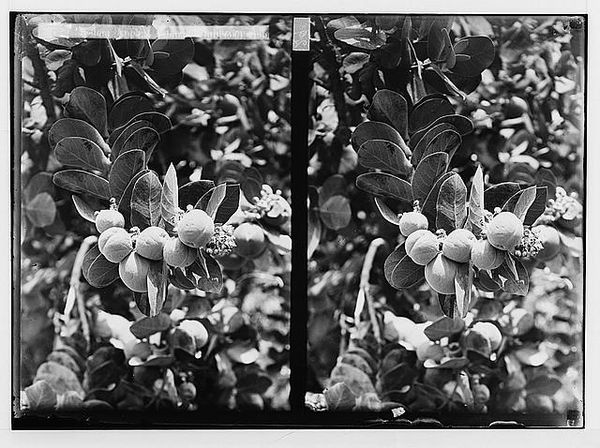 Trees and shrubs. Sodom apples, approximately 1900 to 1920