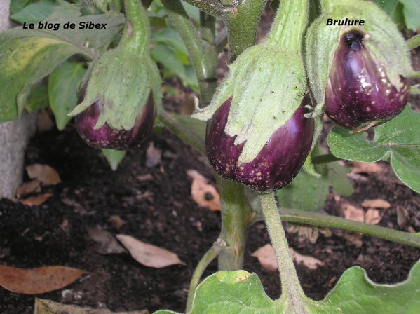 Aubergines black beauty