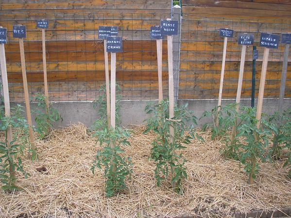 Tomates---paillage.JPG