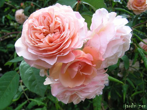 buisson roses