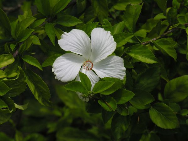 Bresil Ibiscus Blanc 3