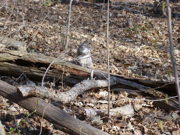 New York ecureuil (50)