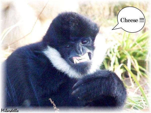 gibbon-a-favoris-blancs-male--3--le-roman-du-gibbon.jpg