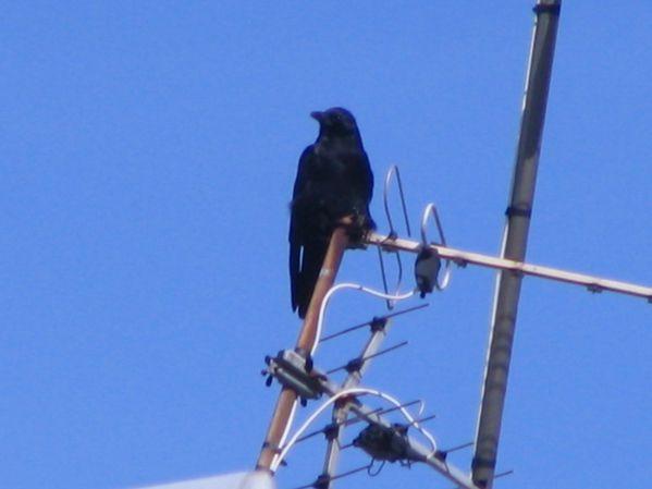 shiva-s-bird-003.JPG