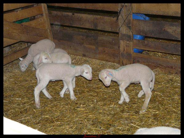 agneaux.jpg