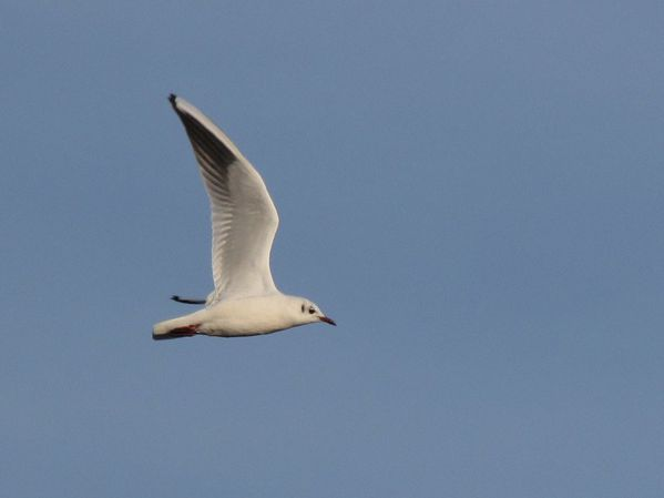 mouette rieuse (2)