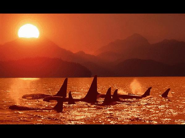 Baleine polaire 11