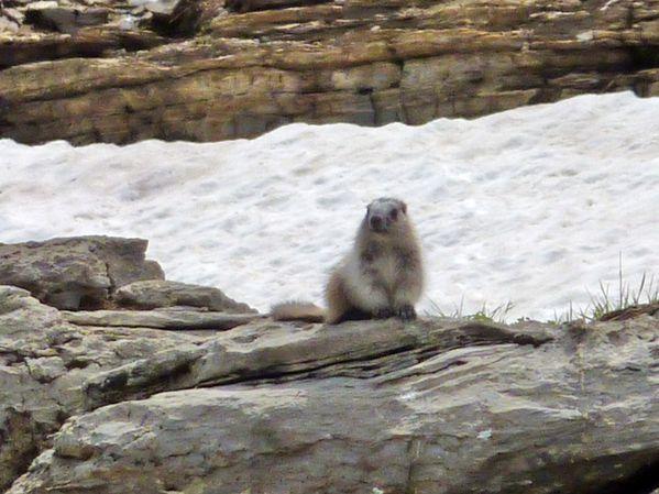 Jour 12 Glacier Hidden Lake trail marmotte 2