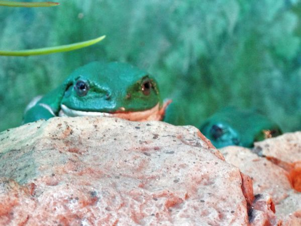 Tucson Sonoran Desert Museum grenouilles