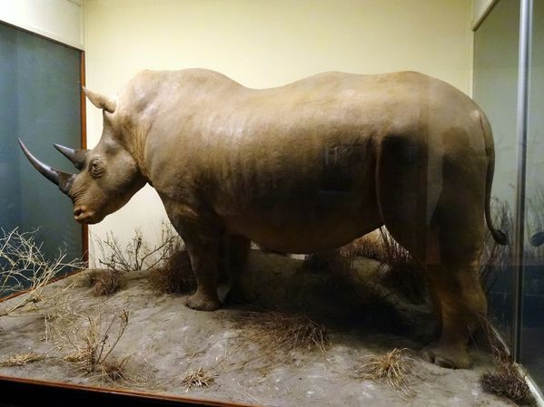 Chicago-Field-Museum-rhinoceros.jpg