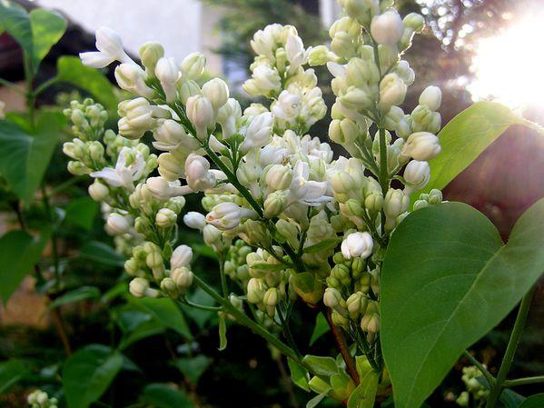 Lilas-blanc--2-.JPG