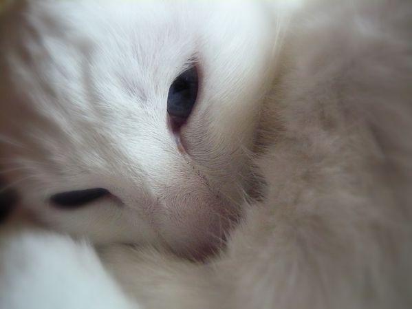 chat blanc yeux bleus albertosi