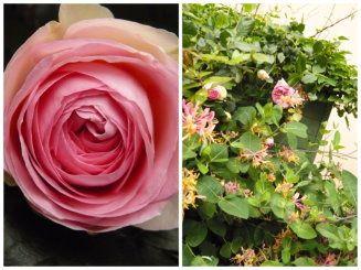 rose pierre de ronsard et chèvrefeuille