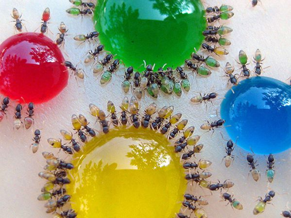 ants colored water 02