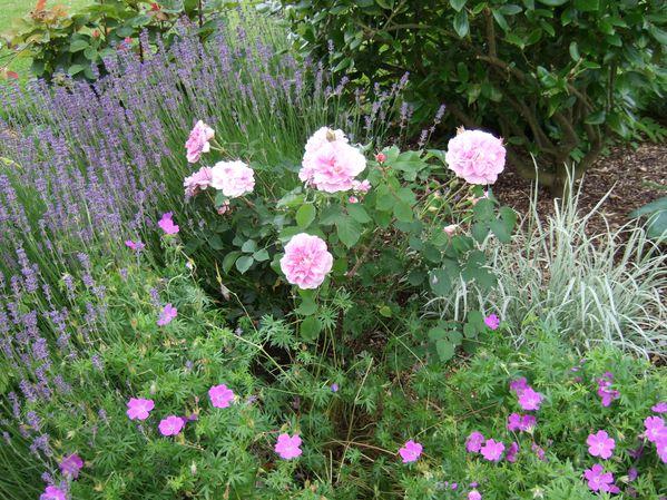 le rosier le plus parfumé de mon jardin