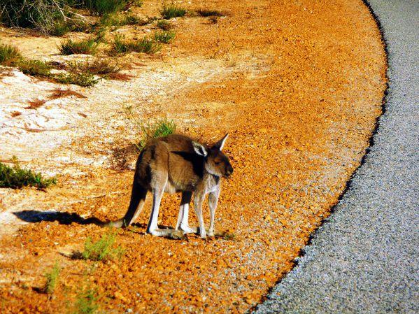 Bebe Wallaby, Desert des Pinnacles, WA