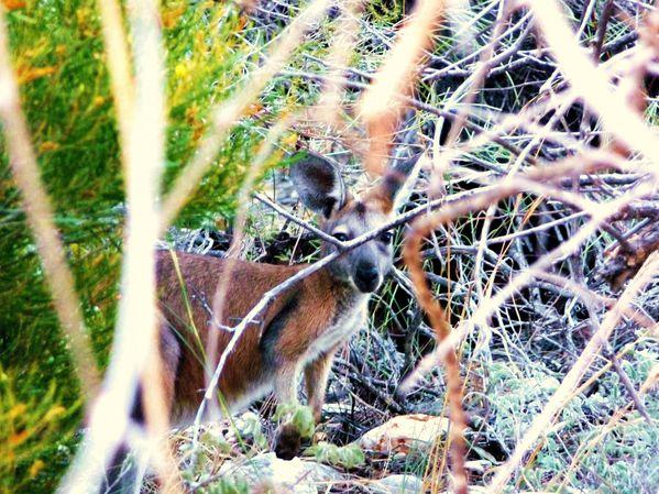 Wallaby, Cape Range National Park, WA