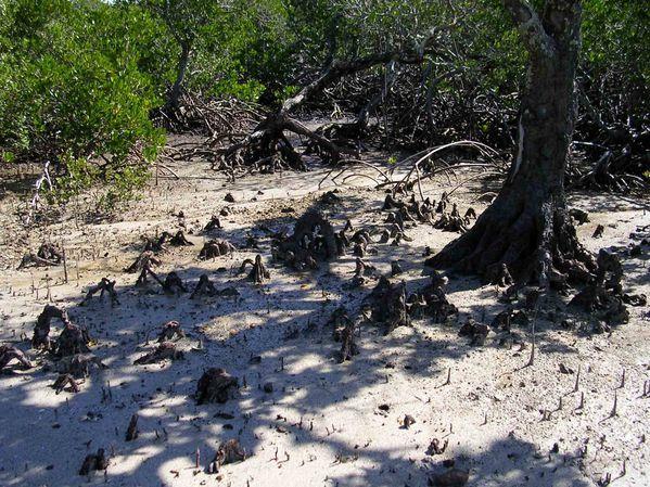 08-mangrove-Ouano-La-Foa-aout-2005