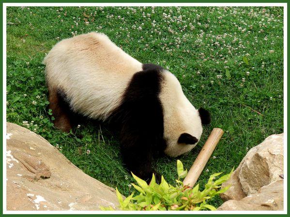 Pandas Geants.Beauval.JP (6)