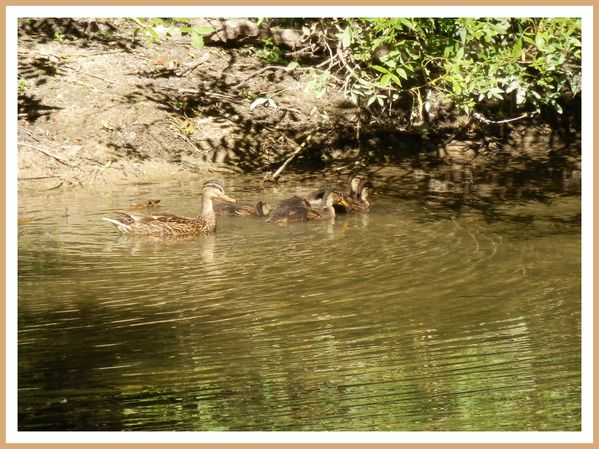 FDG.Canards sauvage (11)