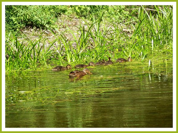 FDG.Canards sauvage (13)