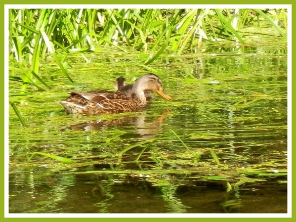 FDG.Canards sauvage (14)