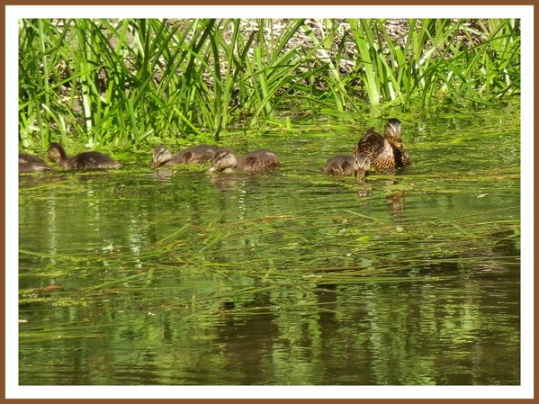 FDG.Canards sauvage (5)