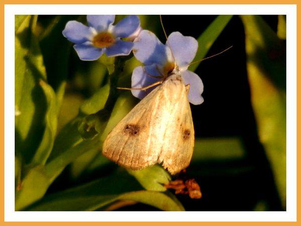 FDG.Fleurs.Papillons de riviere (5)