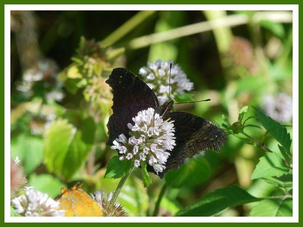 FDG.Fleurs.Papillons de riviere (76)