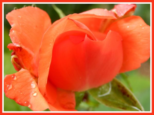 Fleurs d'été.Jipé .Orage (13)