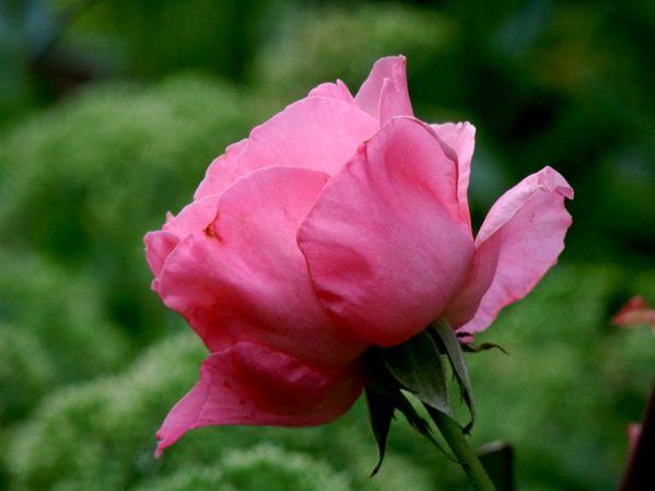 Jardin d'été.Roses.Altéa (9)