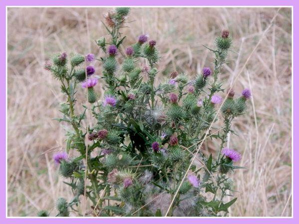 Fleursd'été de talus.Jipé (9)