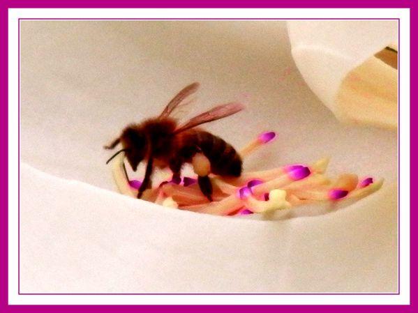 Magnolia et abeilles.Jipé (24)