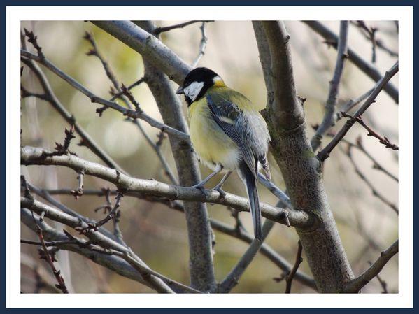 Oiseaux des jardins (4)