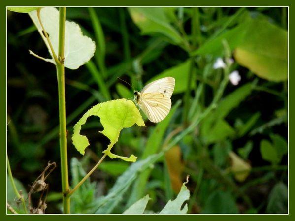 Mfd.Papillon.Riviere.Jipé (28)