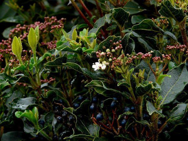 Laurier-tin-fleurs-et-fruits
