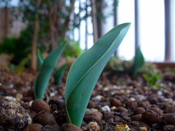 tulipes011