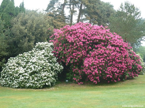 massifs rhododendrons blancs roses gros plan