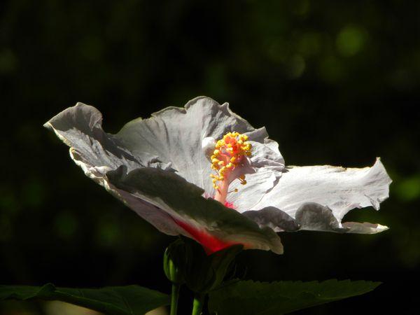 Bresil Bahia Ibiscus Mauve3